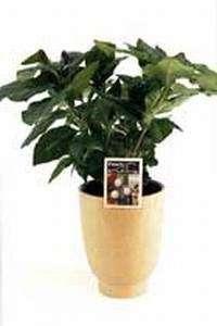 Kaffeepflanze Coffea Arabica 20 bis 30 cm