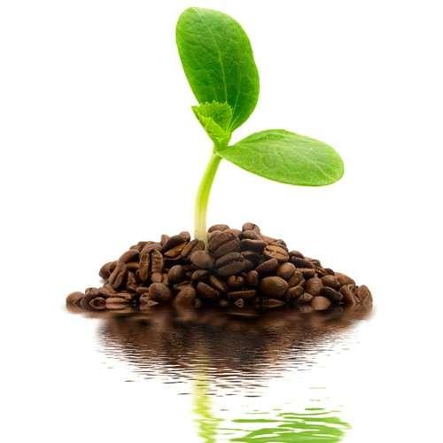 Kaffeesaatbohnen 100 Stück