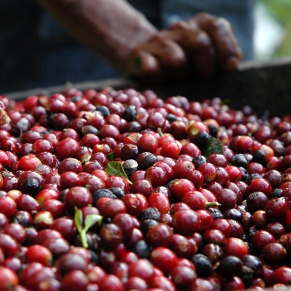 Kaffee-Maragogype-Mexico