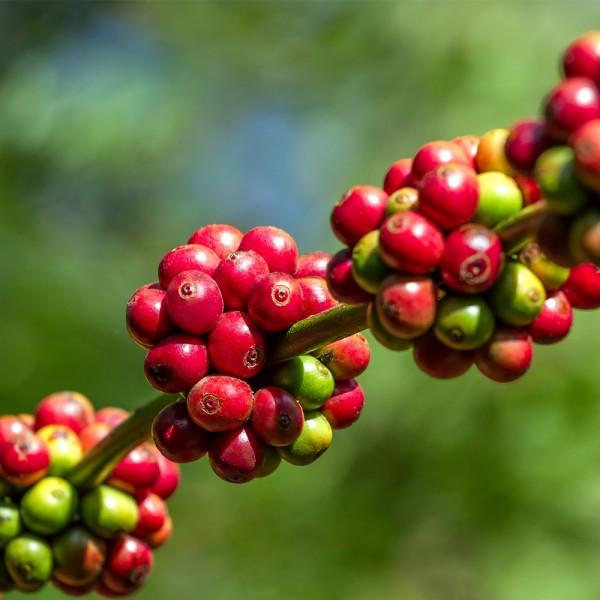 Jamaica-Blue-Mountain-Kaffee